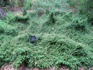 Euonymus fortunei 'Kewensis' - Fusain tapissant