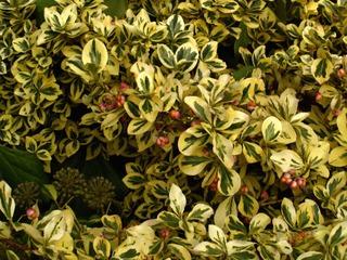 arbuste feuille jaune