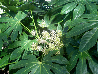 Fatsia japonica - fleurs
