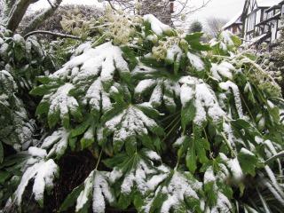 Fatsia japonica en hiver