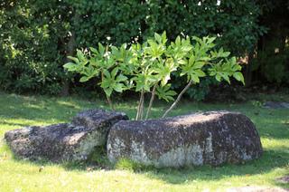 Fatsia japonica en pleine terre, au jardin