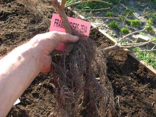 Framboisier racines nues