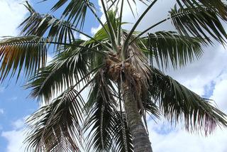 Howea forsteriana (Kentia) dans son milieu naturel