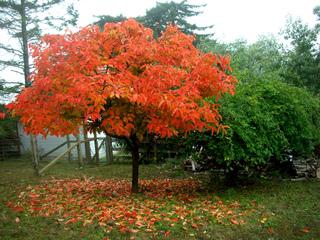 Kaki : feuillage d'automne
