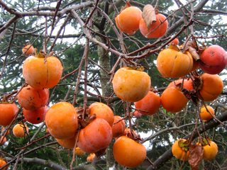 Fruits du plaqueminier (kaki) en hiver