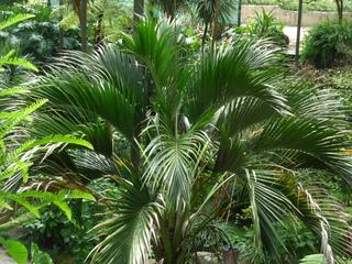 Kentia (Howea belmoreana) dans son milieu naturel