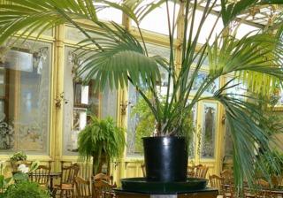 palmier interieur kentia. Black Bedroom Furniture Sets. Home Design Ideas