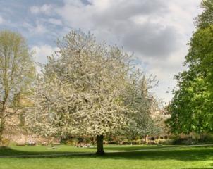 Merisier - Prunus avium 'Plena'