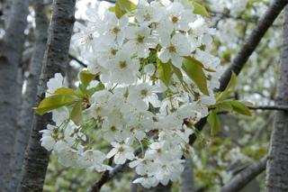 Prunus avium (Merisier) - Fleurs et écorce