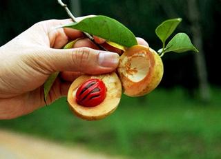 Myristica fragrans - Noix de muscade