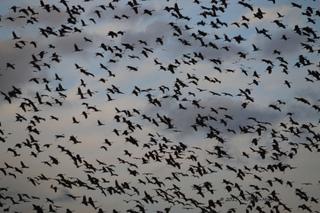 Oiseaux migrateurs en vol