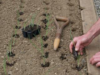 Plantation d'oignons en minimottes