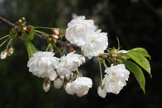 Prunus avium 'Plena' - Merisier à fleurs doubles