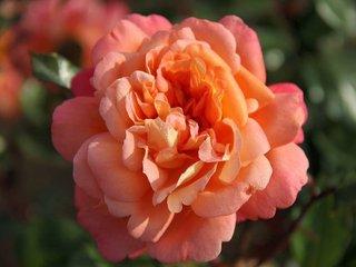 Rose Jardin d'Enteoulet - André Eve