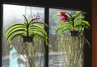 Orchidées Vanda en suspension devant une fenêtre
