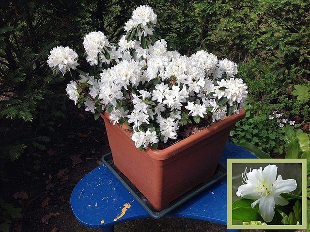 Azal e japonaise conseils de culture de taille et d for Solde plante jardin