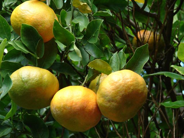 Clémentinier et mandarinier : variétés et conseils de culture