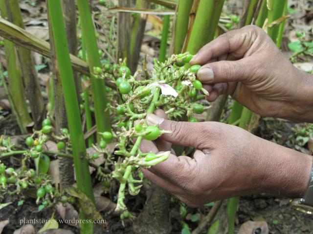 maniguette plante