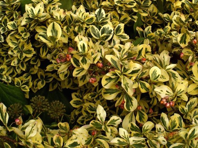 Les diff rents fusains caducs persistants panach s - Plantes vertes bout des feuilles marron ...