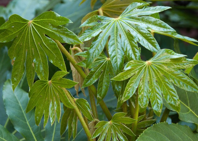 Fatsia japonica ou aralia culture entretien for Plantes decoratives exterieur