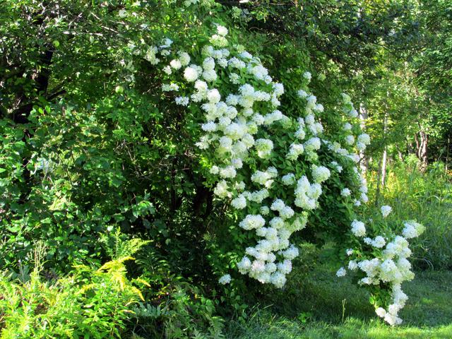 Lumineux, généreux et élégant, l'hydrangea ne manque pas de romantisme (Créer un jardin romantique)