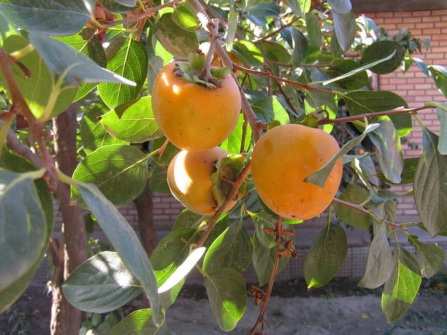 Kaki (plaqueminier) : un arbre fruitier decoratif