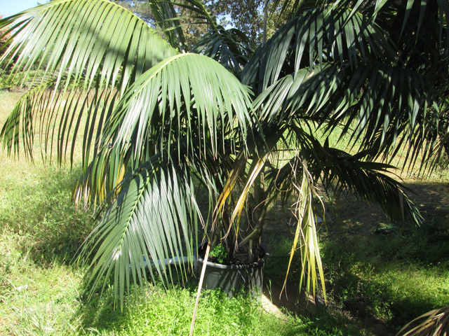 kentia ou howea culture et entretien de ce palmier d 39 int rieur. Black Bedroom Furniture Sets. Home Design Ideas