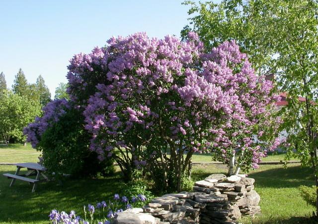 Et si l'on s'asseyait à l'ombre de ce bosquet de lilas ? (Créer un jardin romantique)