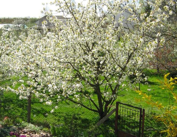 Merisier ou cerisier des oiseaux : culture et utilisation