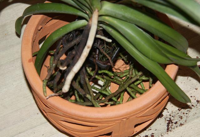 Favori Orchidée Vanda : culture, entretien, floraison WO37