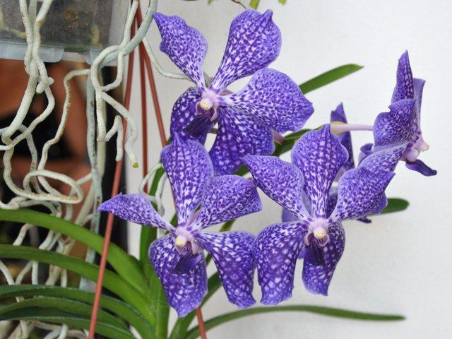 Orchidée Vanda : culture, entretien, floraison