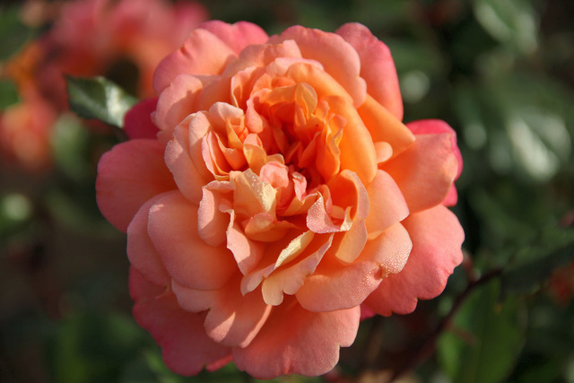 Roses : les nouveautés 2014-2015