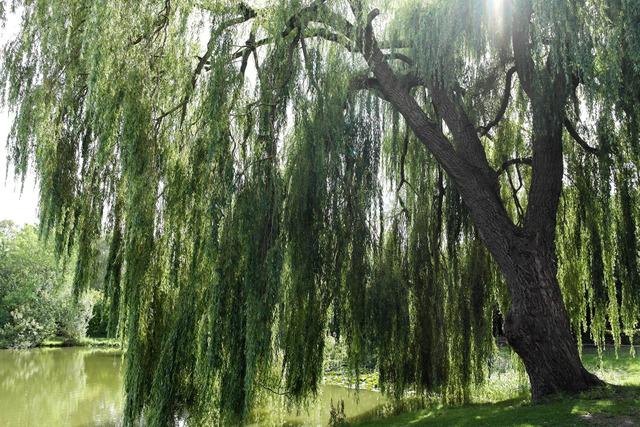 Les rayons du soleil jouent entre les branches du saule pleureur (Créer un jardin romantique)
