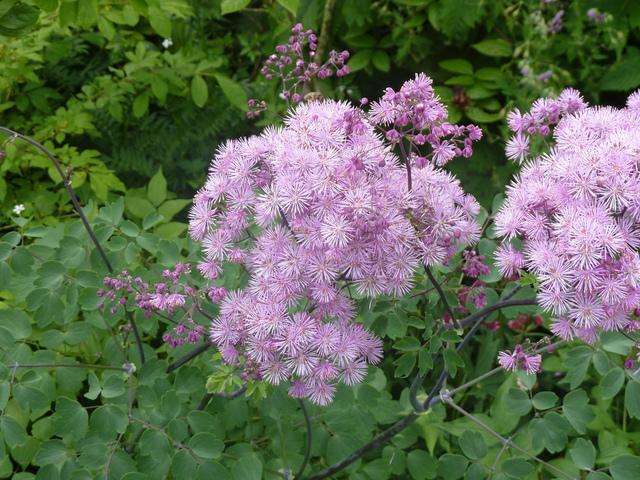 Thalictrum, Pigamon : plantation, culture au jardin, espèces