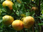 Clémentinier et mandarinier