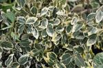 Un arbuste persistant et panaché