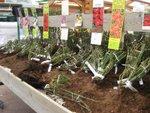 Acheter une plante à racines nues