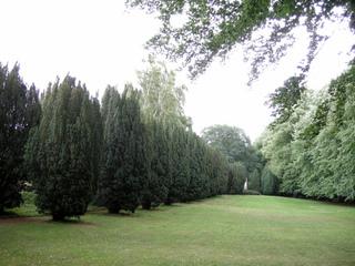 Alignement d'ifs dans un parc