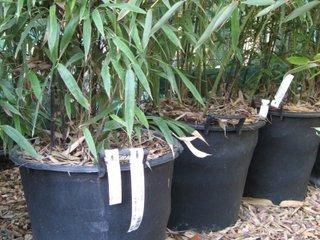 Bambous en conteneur à la pépinière