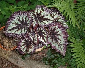 Begonia rex 'Fireworks'