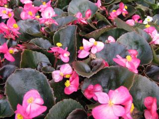Begonia semperflorens F1 Senator Deep Rose