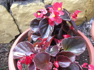 Begonia semperflorens 'Red Pearl'