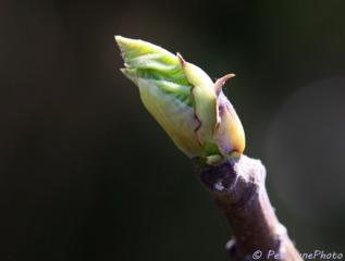 Utiliser les stades phénologiques des plantes pour savoir quand traiter et tailler
