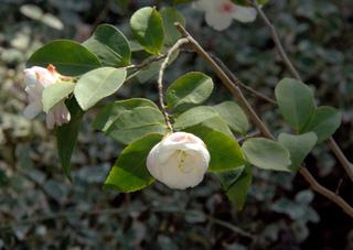Camellia japonica 'Cinnamon Cindy'