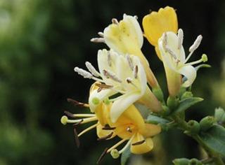 Chèvrefeuille de Henry, variété à fleur jaune
