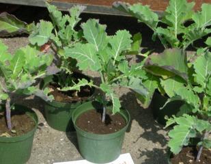 Chou Daubenton : jeunes plants