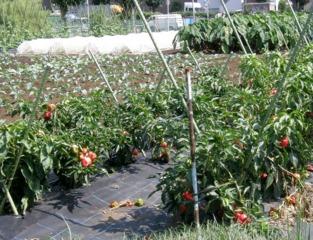 Culture de poivrons dans un grand potager