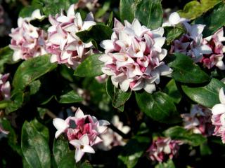 Le daphné odora, fleuri et parfumé en plein hiver
