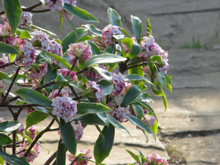 10 arbustes parfumés à planter au jardin