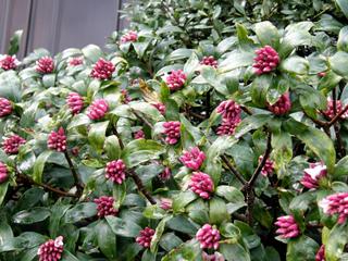 Daphne odora - Boutons floraux